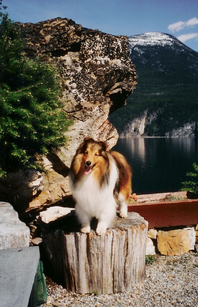 galena-bay-shelties